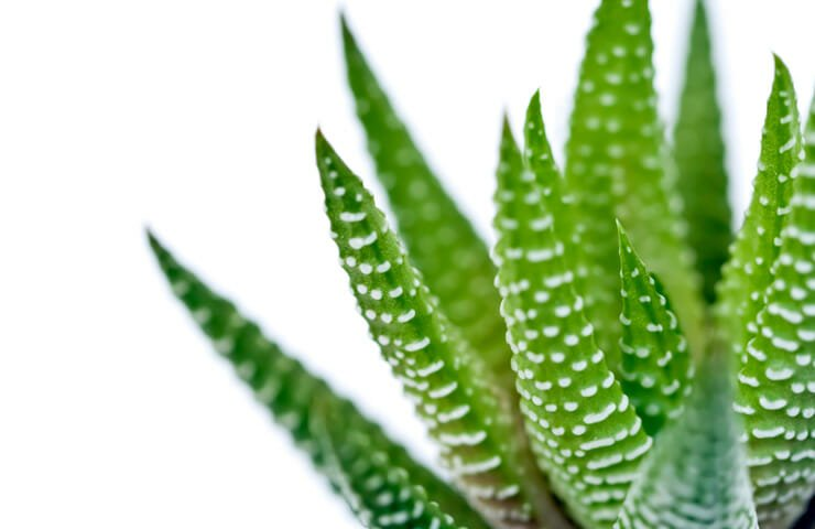Aloe Vera for Skin and Body Health