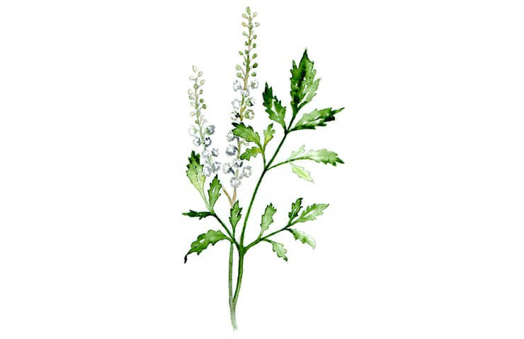 Black Cohosh A Natural Menopause Support