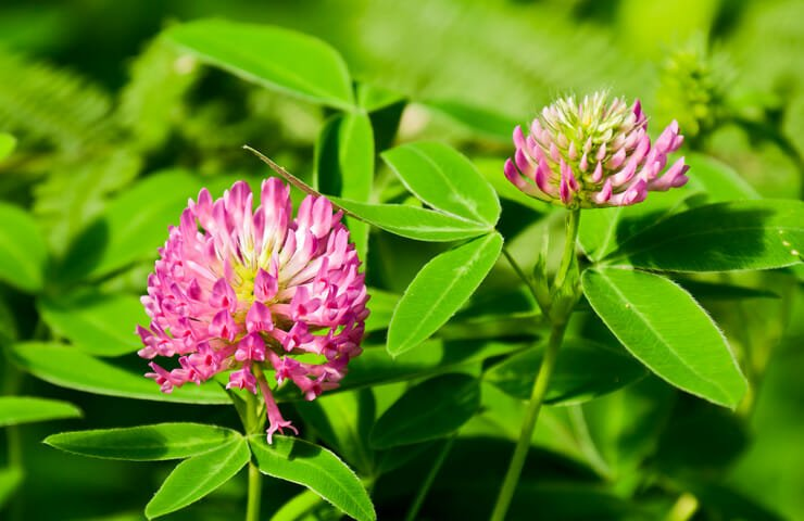 Red Clover as Natural Menopause Support
