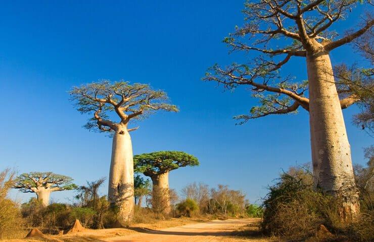 Baobab tree in Madagaskar